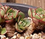 丸葉罗西马桩群生_Echeveria longissima