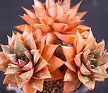 罗西马hyb(XE2208)_Echeveria longissima