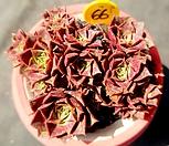 罗西马16头群生-66_Echeveria longissima