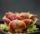 丸葉罗西马(群生)E22-22_Echeveria longissima