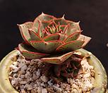 丸葉罗西马自然群生_Echeveria longissima