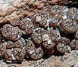 [种子]pellucidumAnegas种子10립/Conophytum 펠露西덤/生石花_Conophytum
