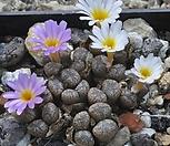 [种子]pellucidumTierberg种子10립/Conophytum 펠露西덤/生石花_Conophytum