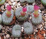 [种子]obcordellumceresianumSkitterykloof种子10립/Conophytum 옵코델룸쎄레시아넘/生石花_Conophytum