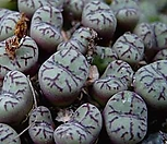 [种子]obcordellumlambertenseLambert'sBay_种子10립/Conophytum 옵코델룸람버텐스/生石花_Conophytum