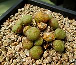Conophytum 5-595_Conophytum