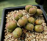 Conophytum 5-596_Conophytum