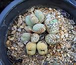 Conophytum 0522_Conophytum