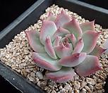 原始种卡罗拉712_Echeveria colorata