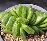 玉扇_Haworthia truncata