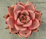 (进口)纯乌木1_Echeveria agavoides ebony red