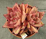 (进口)纯乌木(2头)2_Echeveria agavoides ebony red