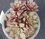 罗西马벨바라H1746(5월)_Echeveria longissima