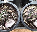 梅花鹿水泡/随机_Adromischus maculatus