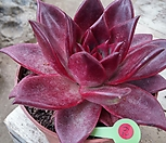 루밍(纯乌木)_Echeveria agavoides ebony red
