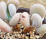 桩星美人99_Pachyphytum oviferum