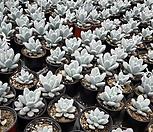 星美人/随机_Pachyphytum oviferum