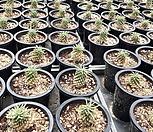 怪魔玉/随机_Euphorbia hypogaea