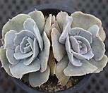 丽娜錦群生中品_Echeveria lilacina