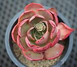 독일罗西马_Echeveria longissima