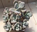 老庄星美人(각몸合并)(식물만뽑아서)_Pachyphytum oviferum