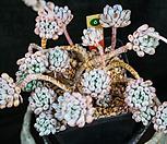 蓝豆스自然群生一体(老庄)_Graptopetalum pachyphyllum Bluebean