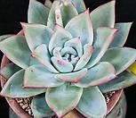 卡罗拉ice_Echeveria colorata