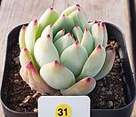 澳大利亚卡罗拉_Echeveria colorata