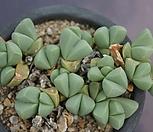 藻铃玉3388_Gibbaeum cryptopodium