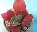 281唐印_Kalanchoe thysifolia