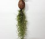 코코넛틸란드시아틸난화초花盆공기정화식물인테리어틸란걸이_