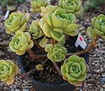 (5月)百合莉莉p34_Aeonium LilyPad