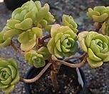 (5月)百合莉莉p35_Aeonium LilyPad