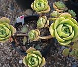 (5月)百合莉莉p37_Aeonium LilyPad