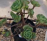 (5月)百合莉莉p38_Aeonium LilyPad