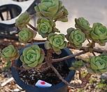 (5月)百合莉莉p39_Aeonium LilyPad