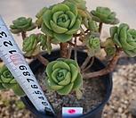 (5月)百合莉莉p48_Aeonium LilyPad