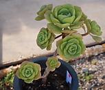 (5月)百合莉莉p56_Aeonium LilyPad