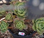 (5月)百合莉莉p61_Aeonium LilyPad