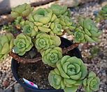(5月)百合莉莉p66_Aeonium LilyPad
