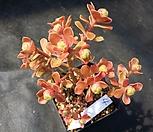 仙童唱_Aeonium spathulatum