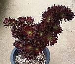 黑法师缀化大品_Aeonium arboreum var. atropurpureum