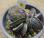 梅花鹿水泡-8_Adromischus maculatus