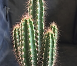 Neoraimondia herzogiana Baseball Bat Cactus实生0526-1_Neoraimondia herzogiana Baseball Bat Cactus