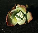 丸葉仙女杯法瑞诺莎(进口)H032(5월)_Dudleya farinosa Bluff Lettuce