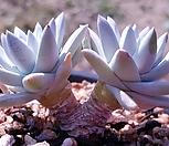 格诺玛桩_Dudleya White gnoma(White greenii / White sprite)