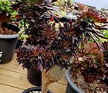 黑法师缀化(特价!)-7_Aeonium arboreum var. atropurpureum