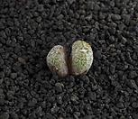 XP1765-C.minusculumleipoldtiiARM.412Eselbank미누스쿨룸레이폴드티2头맨아래사진참고하세요_