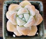 冰玉老庄-3_Echeveria 'Ice green'