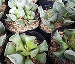 永樂_Adromischus cristatus var. clavifolius